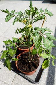 Tomaten eine frische Zutat für die Brotzeit