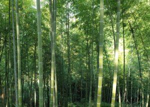Bambuswald ist gut für den Klimaschutz